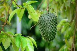 Назвали фрукт, способный победить 12 видов рака