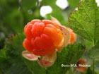 Лесное золото морошка, или тайны ягоды-наоборот