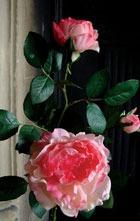 Как правильно ухаживать за домашними розами