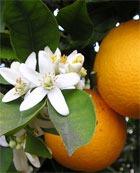 Флердоранж - парфюмерия, цветы, апельсина, апельсин, флердоранж, giorgio, armani, giorgio, beverly, hills, bouche