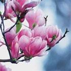 Магнолия - женская, парфюмерия, магнолия, magnolia, guerlain, givenchy, max, mara, kenzo, lancome, Maitre, Parf