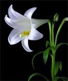 Сила красоты. Лилия - лилия, лилии, цветочные, ароматы, женская, парфюмерия, donna, karan, gold, Serge, Lutens, Un, Lys, A