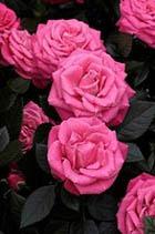 Фестиваль Роз в Техасе