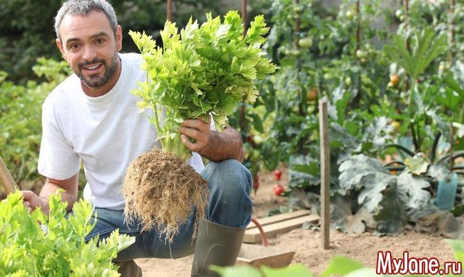 Корневой сельдерей – незаменимый овощ и летом, и зимой