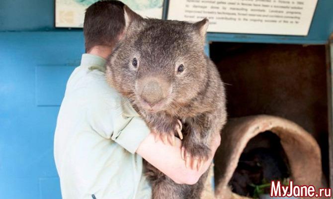 Вомбат: «травоядный мишка» или «подземная коала»?