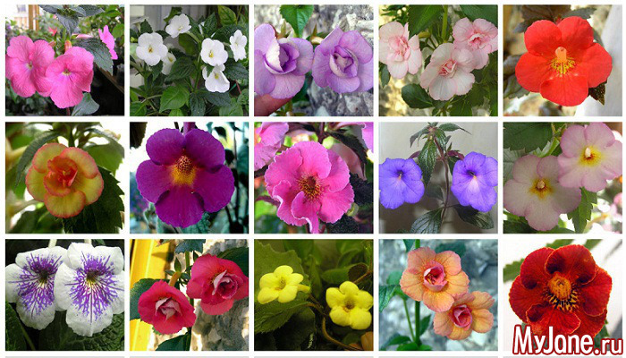 Цветы ахименес посадка и уход