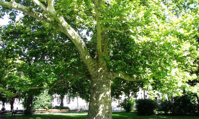 Чинара – дерево мудрецов и героев
