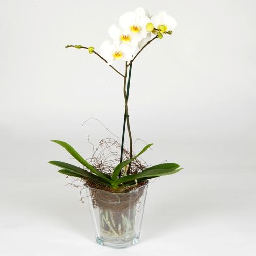 Как ухаживать за орхидеей 62170