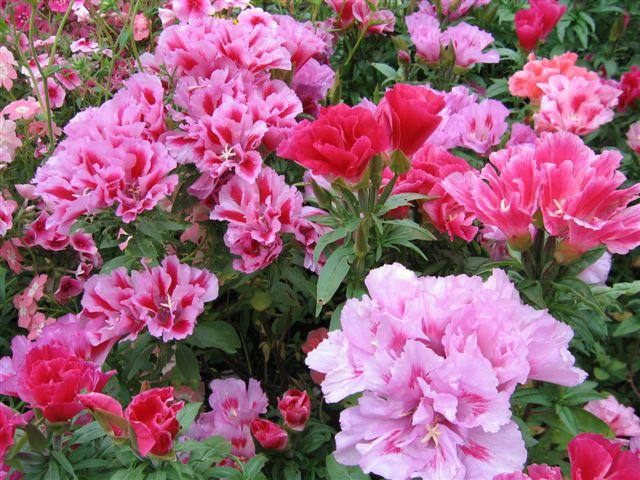 Годеция - годеция, уход, доашня, годеция, цветок, годеция: http://www.myjane.ru/articles/text/?id=2515