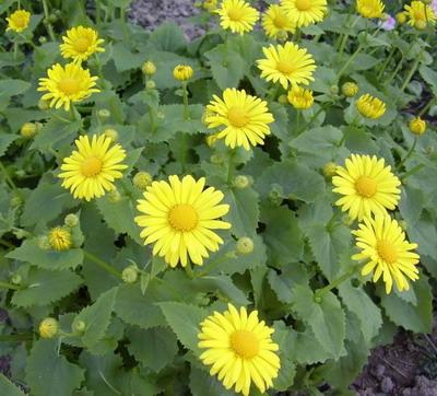 Дороникум – цветок-солнышко ...