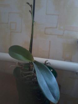 Короткий цветонос у фаленопсиса