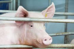 В Японии работают над выведением  свиночеловека