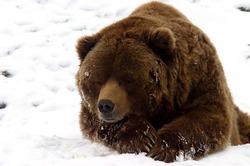 Из-за чего не спит бурый медведь?