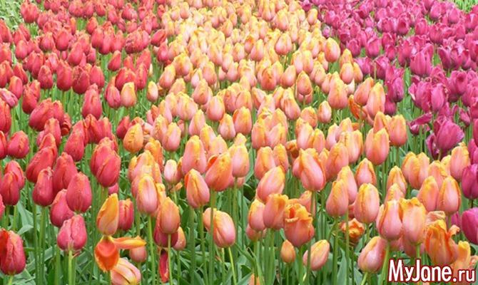 Койкенхоф: голландское приглашение на бал тюльпанов