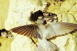 В странах Восточной Азии гнездо стрижа едят вместо курятины