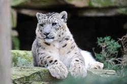 Мир защитит больших российских кошек