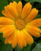 Лекарственные растения против гипертонии