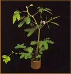 Растение, которое умеет двигаться