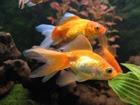 Чудодейственная золотая рыбка