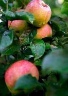 Необходимый уход за яблонями