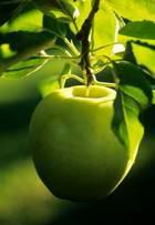 Стелящиеся яблони