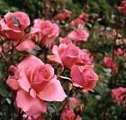 Роза или верблюжья колючка