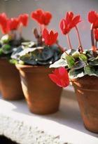 Садовые цветы на подоконнике