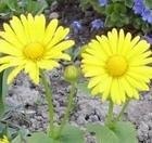 Дороникум – цветок-солнышко