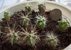Семенное размножение кактусов. Часть 2