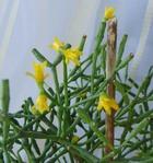 Хатиора  саликорниевидная – кактус танцующих костей