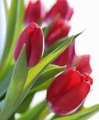 Тюльпаны. Часть 2