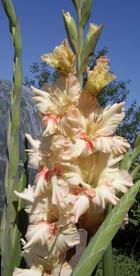 Гладиолус – царственный цветок