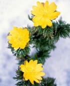 Легендарный цветок