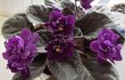 Любимица цветоводов - несравненная фиалка