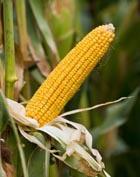 Кукуруза – королева полей. Часть 3. Лечебные свойства кукурузы