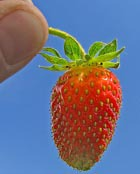 Солнечная ягода. Земляника и клубника