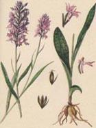 Орхидея северных лугов