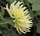 Георгин – царский цветок