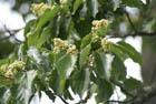 Говения, или конфетное дерево