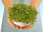 Дикорастущие растения в рационе питания. Часть 3