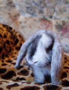 Карликовый  кролик – твоя ушастая  радость!