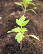 Выращиваем помидорную рассаду
