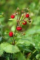 Заготовки из местных ягод