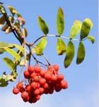 Рябина – дерево друидов