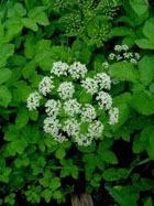 Съедобные сорняки - лучшие помощники в борьбе с весенним авитаминозом