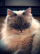 Невская маскарадная кошка: пушистое чудо