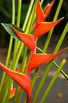 Геликония – «цветок попугая»