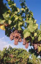 Лечитесь с помощью красного вина