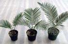 Древнейшее семечко проросло вымершей финиковой пальмой