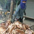 Птичий грипп в Новосибирской области приведет к уничтожению 65 тысяч птиц